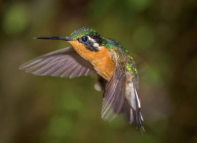 Photograph - Orange Hummer by Ian Sempowski
