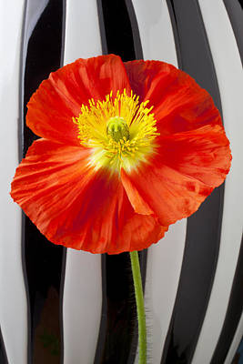 Springtime Photograph - Orange Iceland Poppy With Stripes by Garry Gay