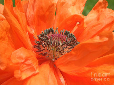 Photograph - Orange Icelandic Poppy Photograph by Kristen Fox