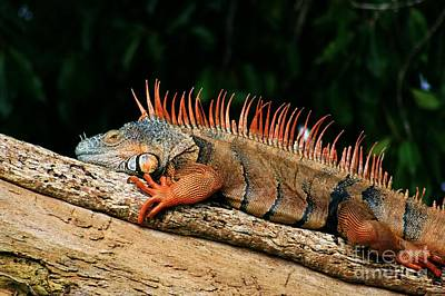 Orange Iguana Close Up Art Print by Robert Wilder Jr