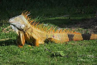 Photograph - Orange Iguana by Frank Townsley