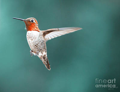 Photograph - Hummingbird Orange Jewel Large Canvas Art, Canvas Print, Large Art, Large Wall Decor, Home Decor by David Millenheft
