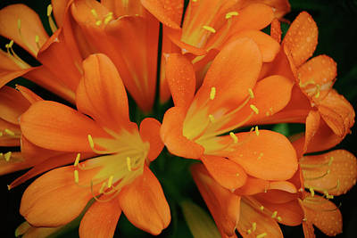 Photograph - Orange Lilies No. 1-1 by Sandy Taylor