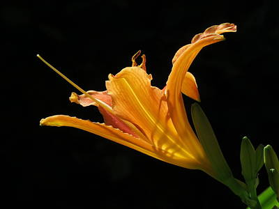 Photograph - Orange Lily 2 by John Topman