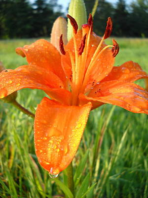 Photograph - Orange Lily Dew Drop by Kent Lorentzen