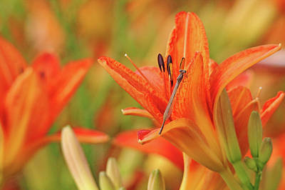 Photograph - Orange Lily With Damselfly by Debbie Oppermann