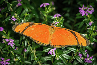 Photograph - Orange Longwing by Robert Culver