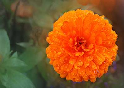 Photograph - Orange Marigold by Marilynne Bull