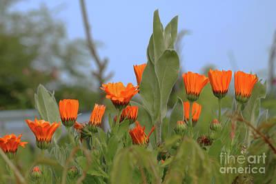Photograph - Orange Marigolds by Terri Waters