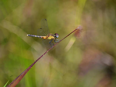 Photograph - Orange Medowhawk - Dragonfly by rd Erickson