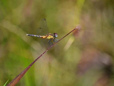 Photograph - Orange Medowhawk - Dragonfly by rd Erickson