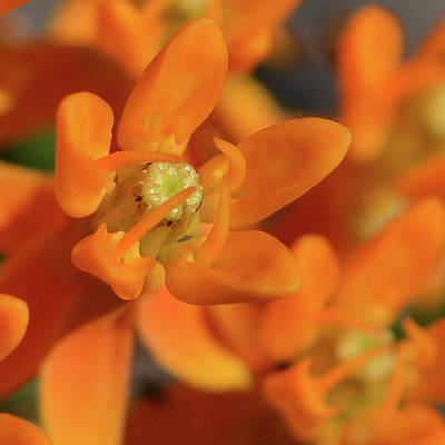 Photograph - Orange Milkweed by Tana Reiff