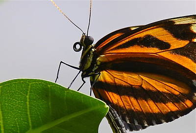 Photograph - Orange Monarch Butterfly Close Up by Denise Mazzocco