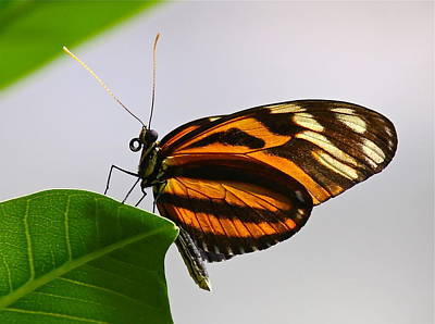 Photograph - Orange Monarch Butterfly by Denise Mazzocco