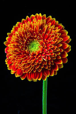 Gerbera Daisy Photograph - Orange Mum Flower by Garry Gay