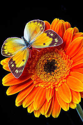 Gerbera Daisy Photograph - Orange Mum With Lovely Butterfly by Garry Gay