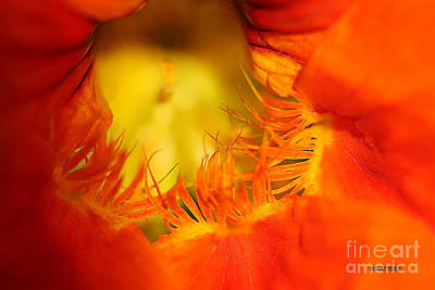 Nasturtiums Painting - Orange Nasturtium Heart by Corey Ford