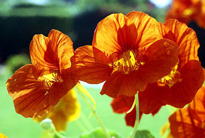Photograph - Orange Nasturtiums by Emanuel Tanjala