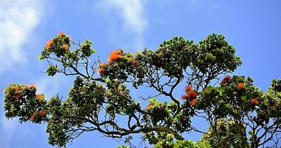 Photograph - Orange Lehua On A Ranch In Volcano, Hawaii  by Lehua Pekelo-Stearns