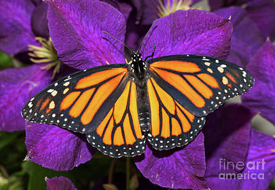Photograph - Orange On Purple by Sari ONeal
