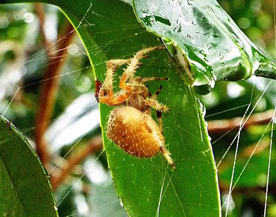 Photograph - Orange Orb Weaver II by Kimberly-Ann Talbert