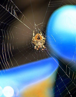 Photograph - Orange Orb Weaver by Kimberly-Ann Talbert