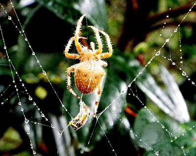 Photograph - Orange Orb Weaver W Prey by Kimberly-Ann Talbert