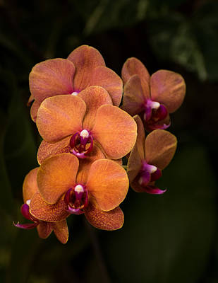 Orchid Photograph - Orange Orchids by Zina Stromberg