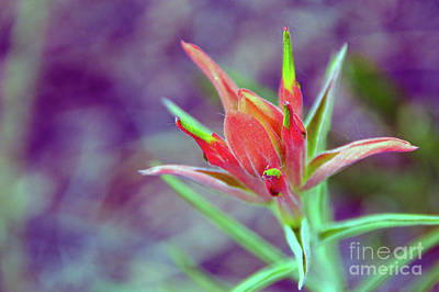 Photograph - Orange Paintbrush Flower by Brian O'Kelly