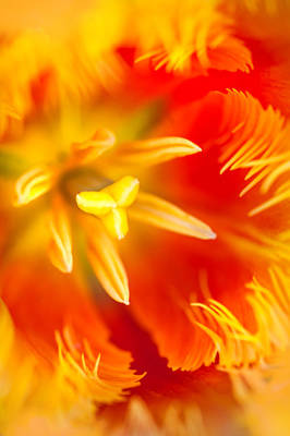 Photograph - Orange Passion. Tulip Macro by Jenny Rainbow