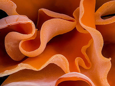 Photograph - Orange Peel Fungus By Jean Noren by Jean Noren