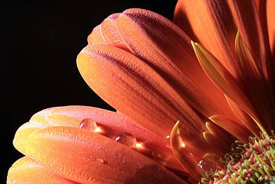 Photograph - Orange Petals And Black Background by Angela Murdock