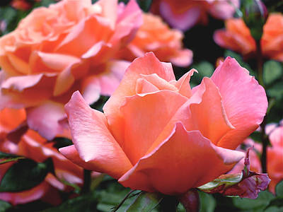 Orange-pink Roses  Art Print by Rona Black