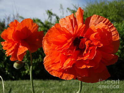 Photograph - Orange Poppies  by Rebecca Overton