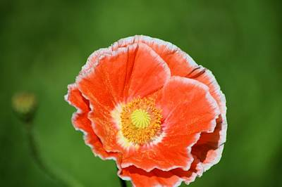 Photograph - Orange Poppy 2 by Bonfire Photography