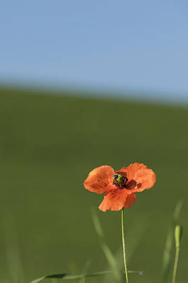 Photograph - Orange Poppy And Bee Dsc04506 by Greg Kluempers