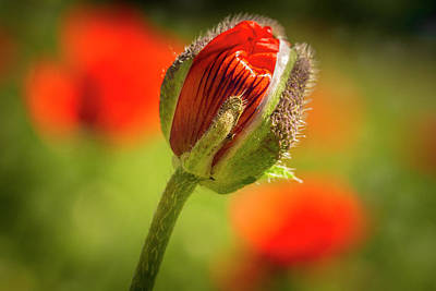 Photograph - Orange Poppy Bud by Teri Virbickis