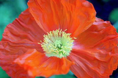 Photograph - Orange Poppy Flower by Haleh Mahbod