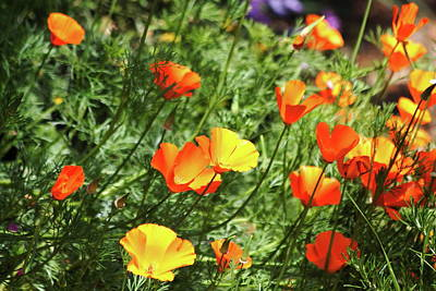 Orange Poppy Flowers . R1269 Art Print by Wingsdomain Art and Photography