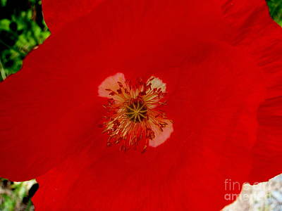 Photograph - Orange Poppy In Full Bloom by Mary Deal
