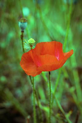 Photograph - Orange Poppy by Lilia D
