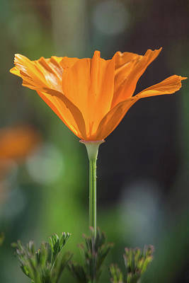 Photograph - Orange Poppy  by Saija Lehtonen