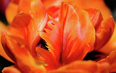 Photograph - Orange Princess Tulip Natures Abstract by Julie Palencia