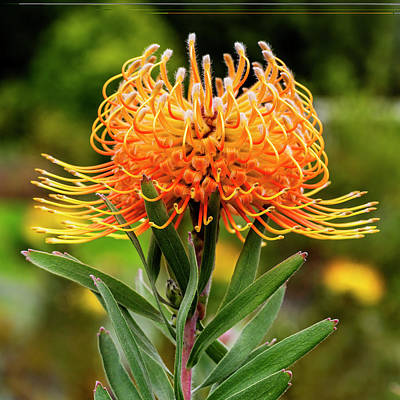 Photograph - Orange Protea by Kelley King