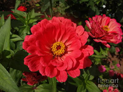 Photograph - Orange Red Zinnia by Rod Ismay