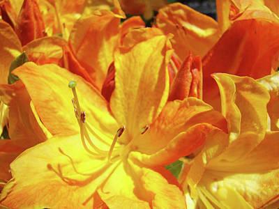 Orange Rhodies Flowers Art Rhododendron Baslee Troutman Art Print by Baslee Troutman