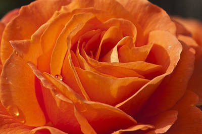 Orange Rose 2 Art Print