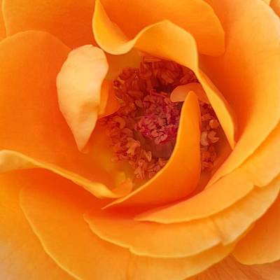 Photograph - Orange Rose 2015 by Amy Jo Garner