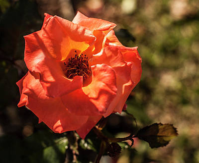 Photograph - Orange Rose by Amy Warr