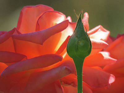 Serenity - Orange Rose And Bud - Photography - Floral Art Print